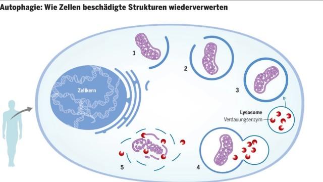 Autophagie Nobelpreis Tages-Anzeiger