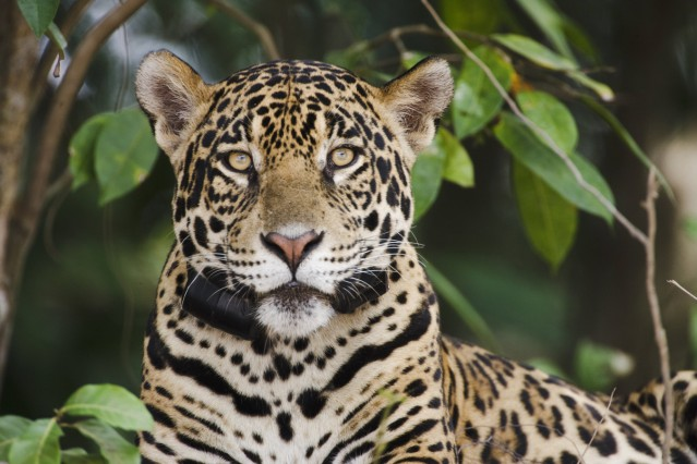 A Jaguar Panthera onca wears a large leather radio collar used for tracking and data collection by