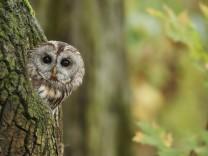 Vogel des Jahres - Waldkauz