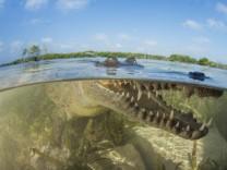 Crocodylus acutus/Spitzkrokodil