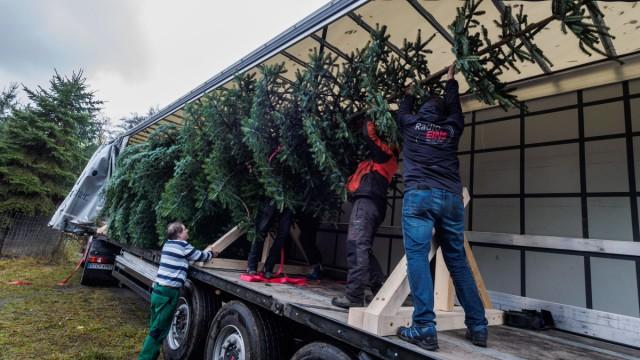 Wo Kommt Der Weihnachtsbaum Her.Weihnachtsbaum Von Königin Elizabeth Kommt Aus Coburg Bayern