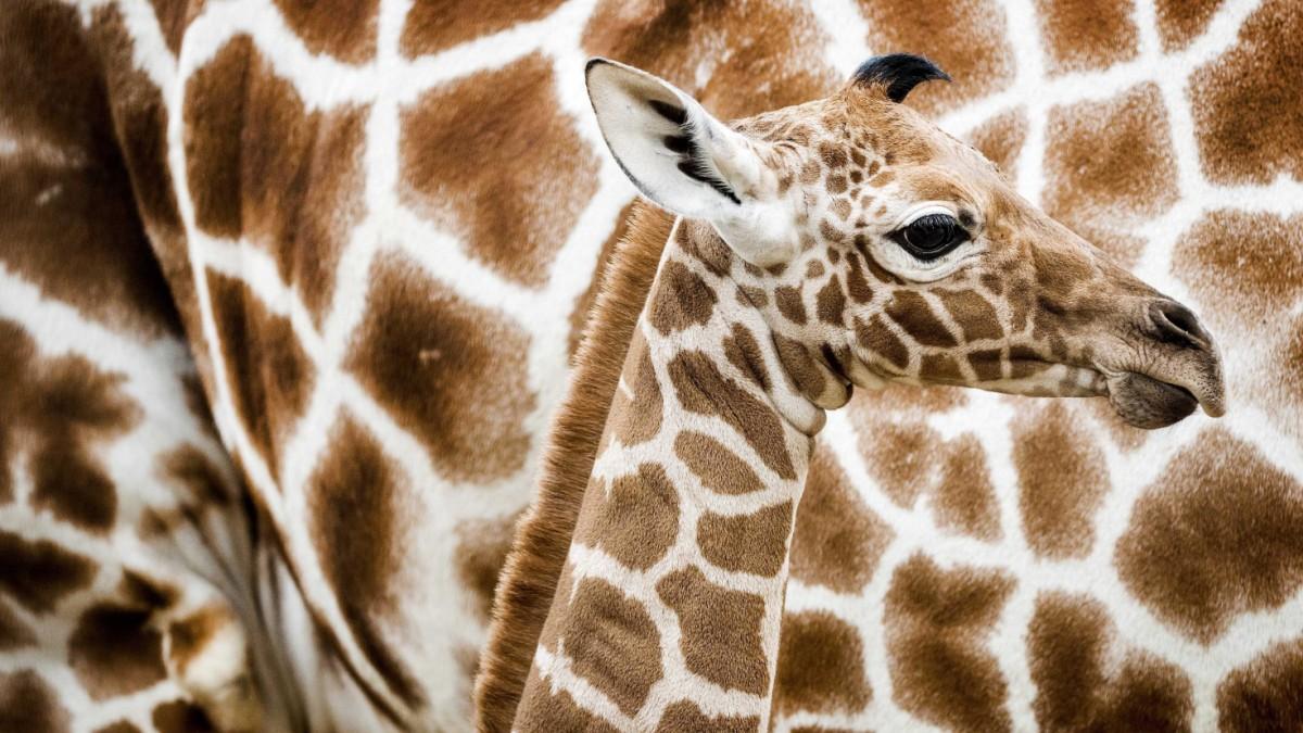 Die Fellfarbe von Giraffen verrät ihre Paarungsaussicht