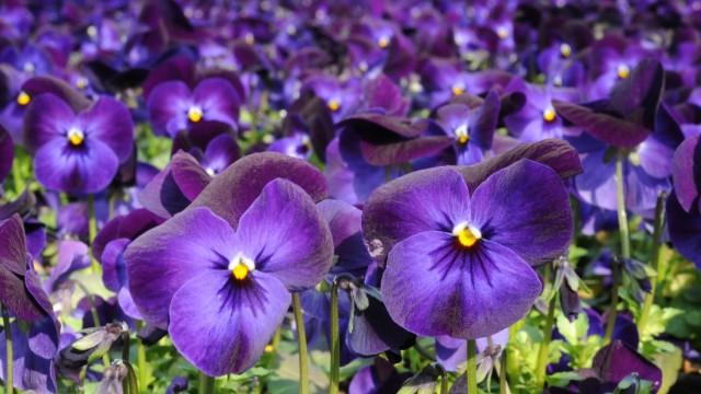 Frühlingsblumen in Gärtnerei