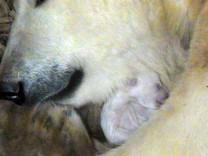 Eisbärin Giovanna ist erneut im Mutterglück