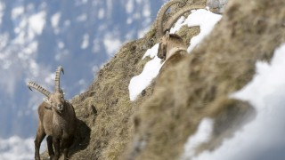 Alpine ibex at Chamossaire mountain