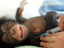 A Chinese zookeeper vaccinates a 44-day-old chimp at Hefei Safari Park, East China's Anhui province.