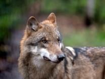 Erster Wolf im Süden Sachsen-Anhalts entdeckt