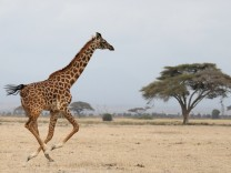 A giraffe runs in Amboseli National park