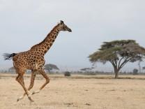 A giraffe runs in Amboseli National park