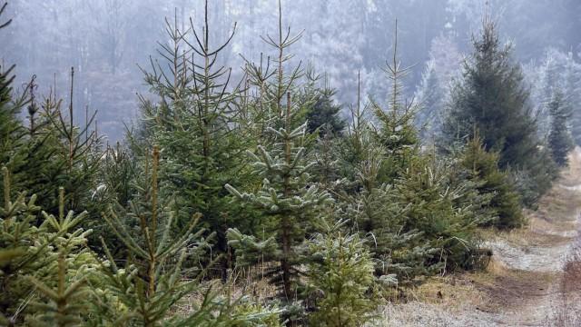 Weihnachtsbaum Selber Fällen.Spaß Für Holzhackerbuam Christbaum Selber Fällen Erding