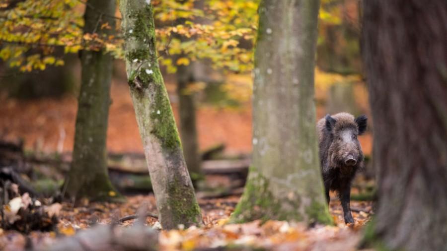 """Afrikanische Schweinepest - """"Das ist eine Gefahr für den Rest der Welt"""""""
