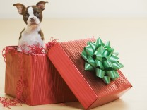 Portrait of a white and brown Boston Terrier puppy in a Christmas gift box