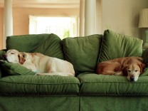 Dogs sleeping on sofa