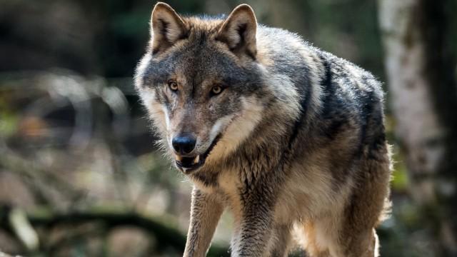 Wolfsinformationszentrum
