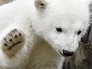 Knut wächst und wächst (Bild)