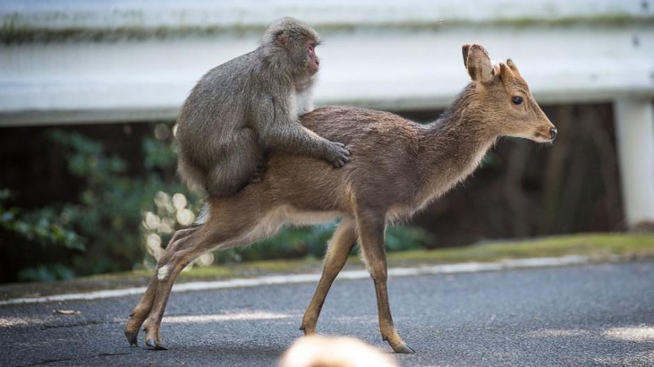 Affe liebt Hirsch
