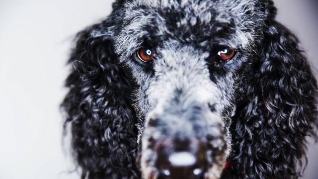 Portrait of starring standard poodle PUBLICATIONxINxGERxSUIxAUTxHUNxONLY JATF000775