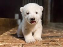 Kleiner Eisbär im Tierpark erstmals untersucht