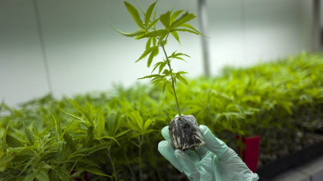 Cannabis-Produktion