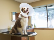 Dog wearing cone collar at vet clinic