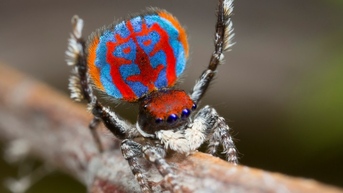 A specimen of the newly-discovered Australian Peacock spider, Maratus Bubo, shows off his colourful abdomen in this undated picture from Australia