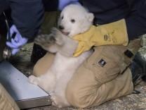 Hellabrunns Eisbären-Baby