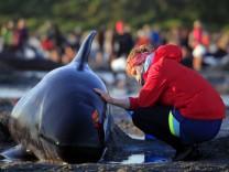 300 Grindwale an Neuseelands Küste verendet