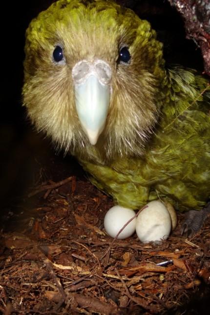 Neuseeland Kakapos in Neuseeland