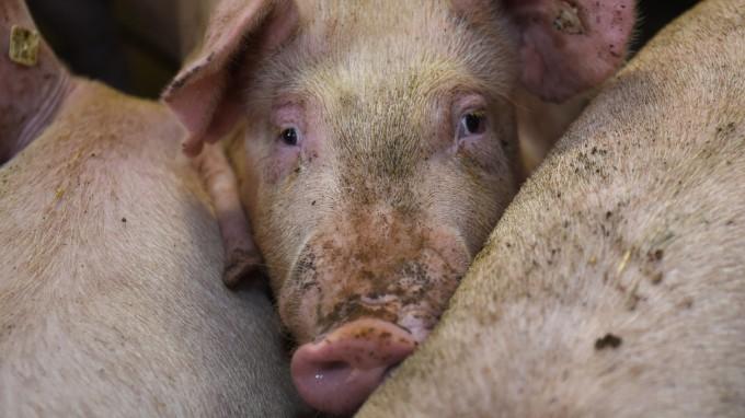 Schweine sollen vor dem Schlachten tief betäubt werden - so will der Gesetzgeber den Tieren das Schlimmste ersparen. In Bayern klappt das nicht immer. (Foto: Carmen Jaspersen/dpa)