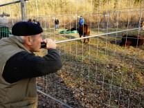 Königsbrunn: entflohene Kälber aus Hausen