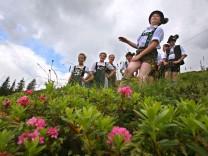 Fest zur Blüte der Alpenrose