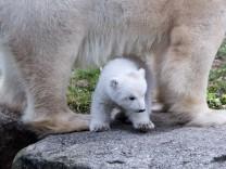 Eisbärennachwuchs in München
