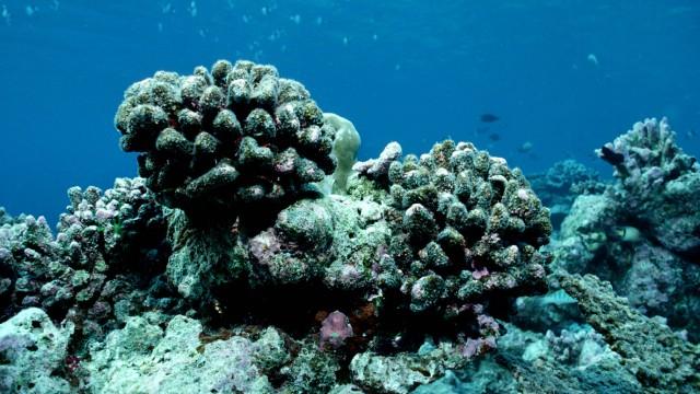 Korallen Riffsterben