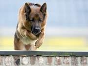 Schäferhund, dpa