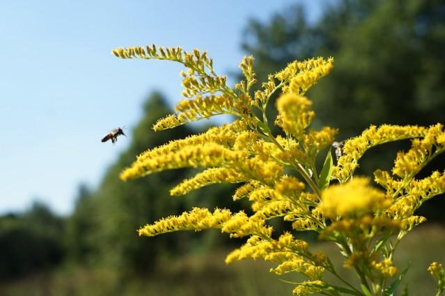 Wildbiene im Allacher Forst bei München, 2016