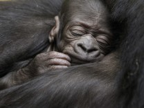 A five-day-old gorilla sleeps in the arms of its ten-year-old mother N'Yokumi at an enclosure at the zoo in Zurich