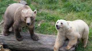 Mischbären im Zoo von  Osnabrück