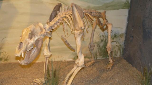 Höhlenbär im Urzeitmuseum