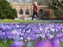 Blühende Krokusse im Botanischen Garten Karlsruhe