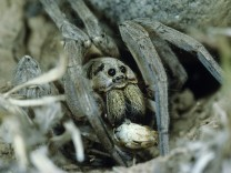 Wolf Spider Lycosidae adult with grasshopper as prey at night Crau France PUBLICATIONxINxGERxSUI