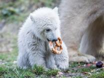 Taufe von Eisbärenbaby Quintana; Eisbär Baby Quintana im Tierpark Hellabrunn