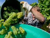 Weinlese in Franken