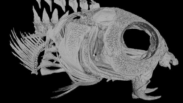 Fischgift kann zur Schmerzbehandlung eingesetzt werden