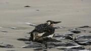 Mit Öl verschmierter Vogel am Strand von Norderney; dpa
