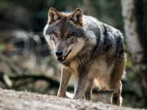 Brandenburgs Landtag diskutiert über Wölfe