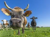 Allgäuer Kühe Braunvieh auf der Weide Blick in die Kamera Schwaben Bayern Deutschland Europa