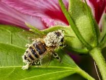 Biene in Malvenblüte, 2015