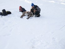 Chronic wasting disease of norwegian reindeers