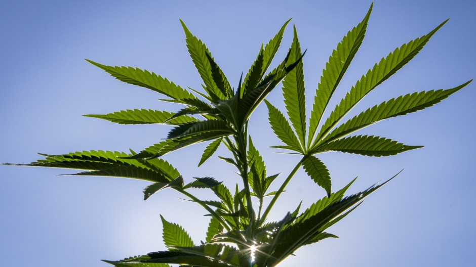 Cannabis sativa, indica, marihuana, hemp, ganja, plant