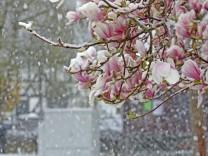 Wintereinbruch in Nordrhein Westfalen Mit Schnee bedeckte Magnolien Magnolie in Siegen Oberschelden